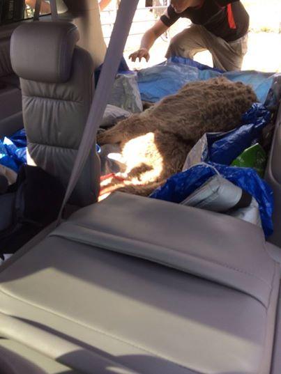 Today's Donkey Rescue in Honda Minivan