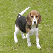 Thumbnail image of a beagle