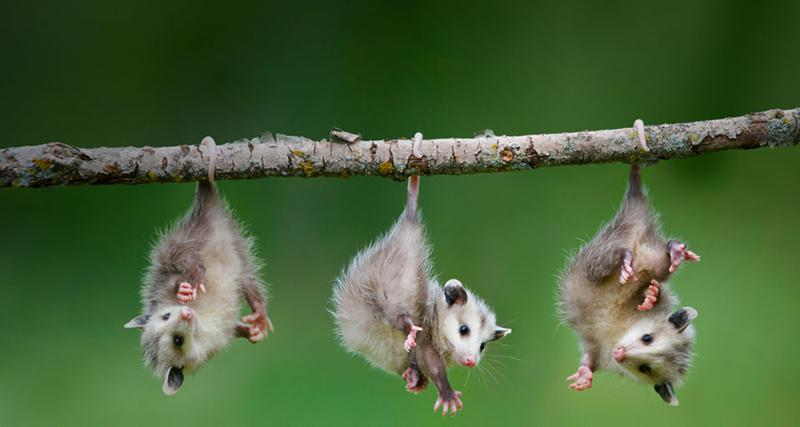 opossum by their tail
