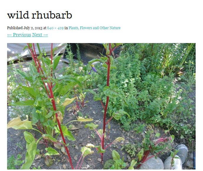 wild rhubarb